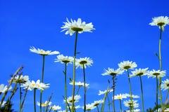 Маргаритки и голубое небо стоковое фото rf
