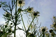 Маргаритки и небо Стоковые Фотографии RF