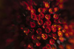 маргаритки красные Стоковые Изображения