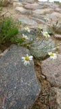 Маргаритки между камнями Стоковое Изображение