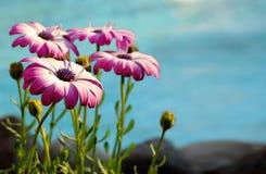 Маргаритки накидки Стоковое Фото