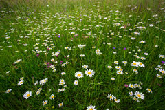 Маргаритки на поле Стоковое фото RF