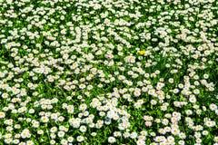 Маргаритки поля Взгляд крупного плана белых и розовых маргариток в солнце Стоковые Изображения