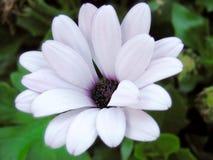 маргаритки пурпуровые Стоковая Фотография RF