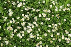 Маргаритки растя в саде Стоковое Изображение