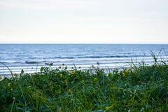 Маргаритки растя дикий на песчанных дюнах по побережью пляжи Флориды во входе Ponce и пляже Ormond, Флориде стоковые фото