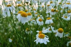 Маргаритки растя на поле в поздним летом Стоковые Изображения
