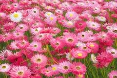 Маргаритки розовой бумаги Стоковое Изображение