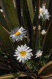 Маргаритки сияют сад стоковые изображения rf