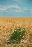 маргаритки Стоковая Фотография RF