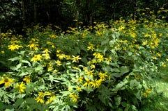 маргаритки field желтый цвет стоковое изображение rf