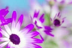 Маргаритки Pericallis Стоковое Фото