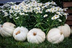 Маргаритки Shasta и белые тыквы Стоковые Фото