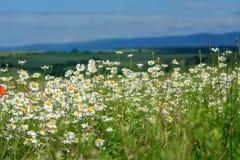 Маргаритки Wildflowers Ландшафт ЛЕТА чувствительная весна цветков Стоковые Фото
