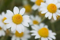маргариток глубины поля краткости белизна очень куст белых маргариток в солнечном поле Стоковые Изображения