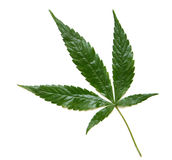 марихуана листьев Стоковое Фото