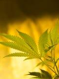 марихуана стоковая фотография rf