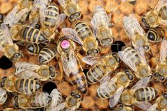 Маркированный ферзь пчелы Стоковые Изображения RF