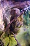 Мартышка пигмея Стоковые Фото