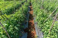 10, март 2016 DALAT - строка томата в Dalat- Lamdong, Вьетнаме Стоковое Изображение