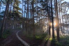 10, март 2016 DALAT - лучи в сосновом лесе в Dalat- Lamdong, Вьетнаме Стоковые Изображения
