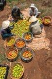 10, март 2016 DALAT - фермеры жать томат в Dalat- Lamdong, Вьетнаме Стоковое фото RF