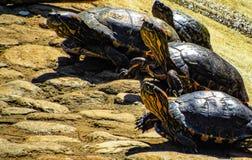 Маршируя черепахи Стоковое Фото