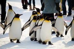 Марш пингвина на зоопарке Asahiyama, Хоккаидо Стоковая Фотография