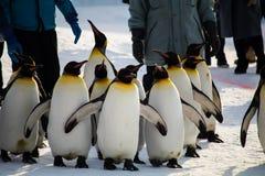 Марш пингвина на зоопарке Asahiyama, Хоккаидо Стоковая Фотография RF