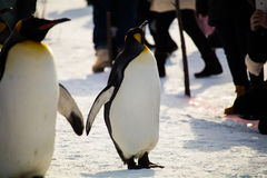Марш пингвина на зоопарке Asahiyama, Хоккаидо Стоковые Изображения RF