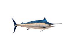 Марлин - меча-рыб, изолят рыб соленой воды Sailfish (Istiophorus) иллюстрация штока