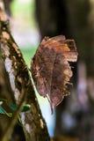 Маскировка - мертвая бабочка лист Стоковое Изображение RF