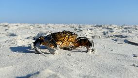 Маскировки краба коричневого цвета на песочном Чёрном море приставают к берегу в лете видеоматериал