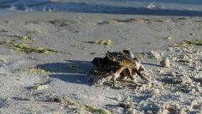 Маскировки краба на песочном Чёрном море приставают к берегу Оно не двигает видеоматериал