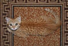 Маски кота имбиря на запятнанном половике стоковые фотографии rf