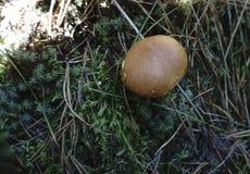 Масленок подосиновика белого грибка внутри на ем Стоковая Фотография RF