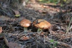 Масленок род грибков базидиомицета в семье Suillaceae и заказе Boletales Стоковое Фото
