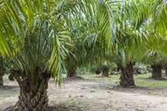 Масличная пальма, Таиланд стоковые фотографии rf