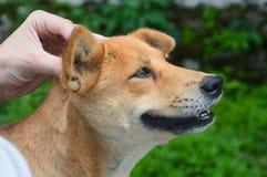 Массаж головы собаки стоковая фотография