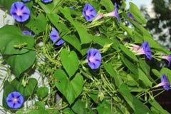 Масса небесных голубых цветков славы утра Стоковое фото RF