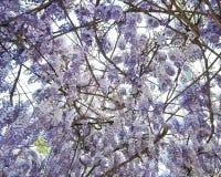 Масса цветенй глицинии Стоковая Фотография