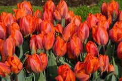Масса ярких красных тюльпанов Стоковая Фотография RF