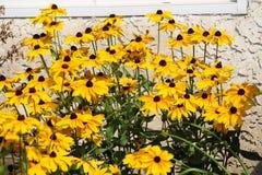 Масса яркого желтого Rudbeckia Стоковые Изображения