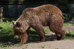 массивнейшее медведя коричневое стоковые фото
