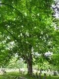 Массивнейшее старое дерево клена в кладбище Новой Англии стоковые изображения