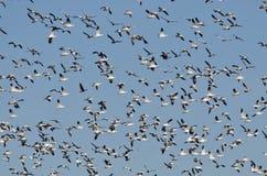 Массивнейшее стадо гусынь снега летая в голубое небо Стоковое Изображение RF