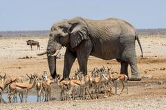 Массивнейший слон Bull причаливая waterhole стоковая фотография rf