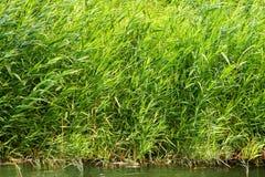 Массив тростника Bulrush растительности Стоковая Фотография RF