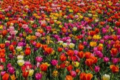 Массив тюльпана Стоковые Изображения