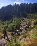 Массовые пася овцы Стоковые Фотографии RF